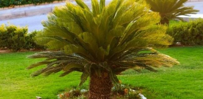 تسبب في تسمم شخص.. معلومات عن نبات السيكاس: سعره 5 آلاف جنيه