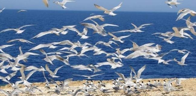 محميات البحر الأحمر: رصد 13789 طائرا في 11 جزيرة