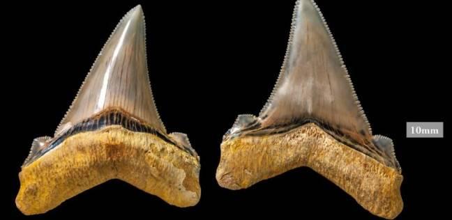أسنان قرش منقرض عمرها 25 مليون سنة