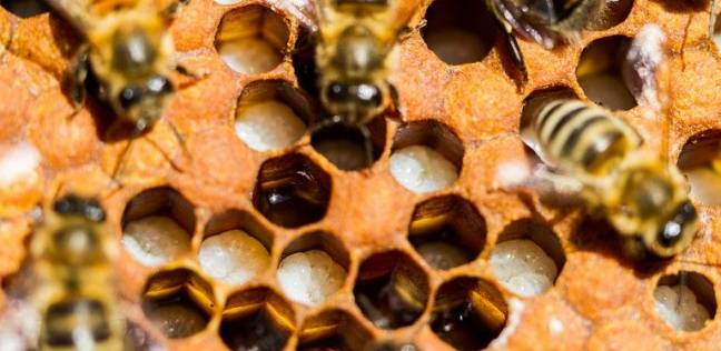 علماء يكتشفون لقاحا جديدا يحمي النحل من مرض قاتل وينقذ إنتاج الغذاء