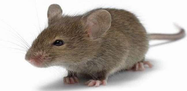 بالفيديو  مقهى أمريكي يتيح لزواره تناول الطعام مع الفئران