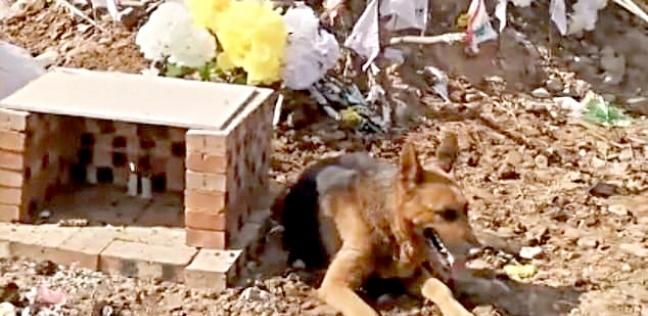 """الكلب """"هاتشي"""" مرابطاً فوق قبر صاحبه."""