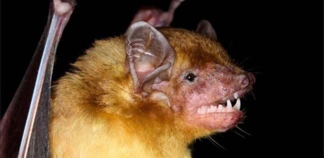 اكتشاف خفاشان جديدان لونهم أصفر في أفريقيا