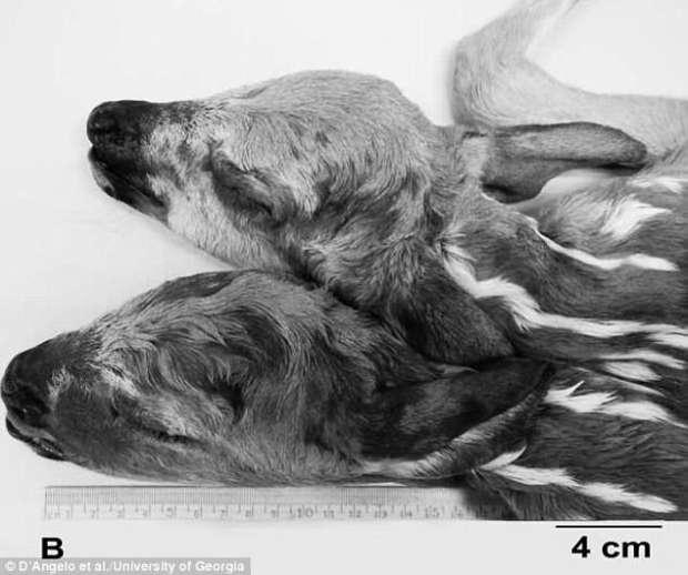 Image result for غزال برأسين في امريكا