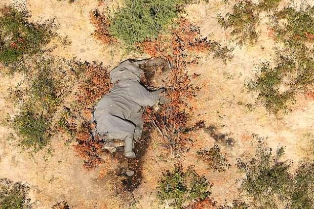 17075539081593621541 - كارثة غامضة.. نفوق مئات الأفيال في بتسوانا حول آبار المياه (صور مؤلمة)