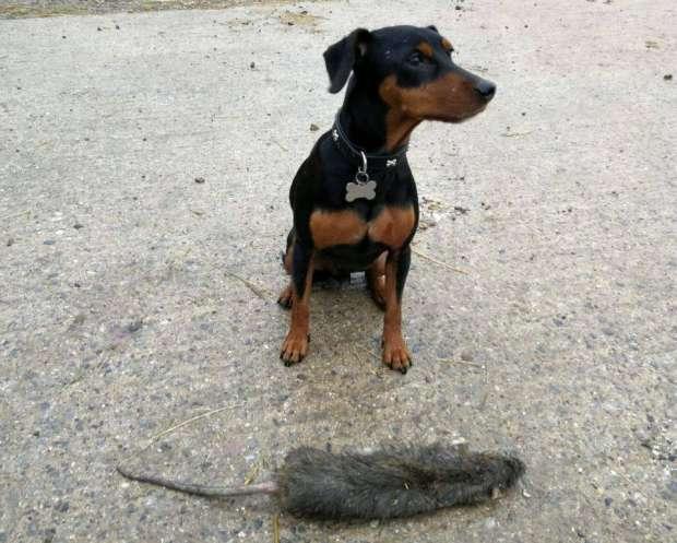 بالصور.. العثور على أكبر فأر في العالم