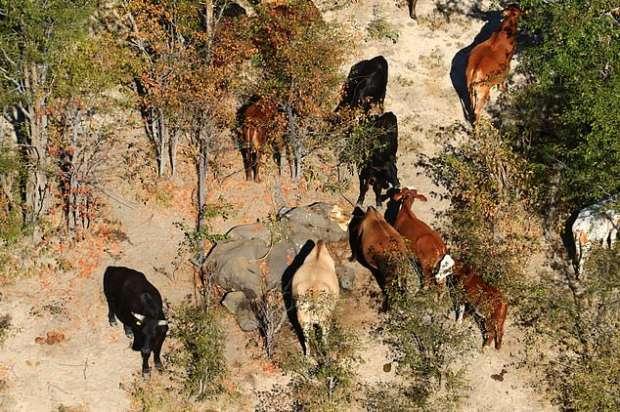 18975185171593621536 - كارثة غامضة.. نفوق مئات الأفيال في بتسوانا حول آبار المياه (صور مؤلمة)