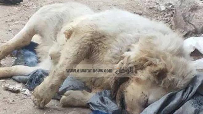 بالصور| العثور على جثة حيوان غريب يشبه الأسد في المحلة