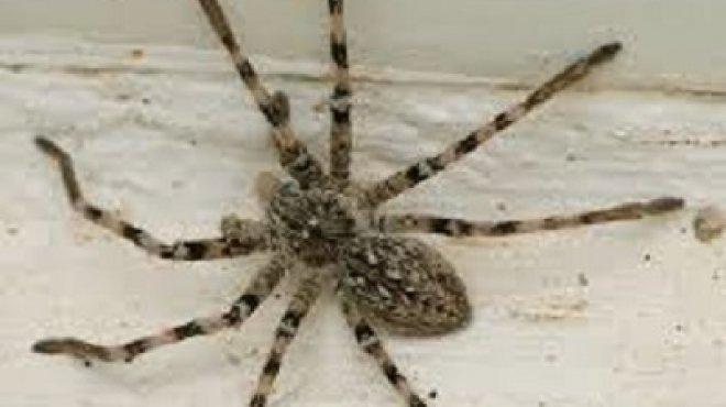 بالصور| سم العنكبوت يصيب بالشلل أحيانا.. و