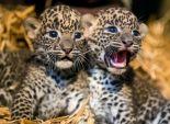 بالصور| ولادة شبلين لنمر سريلانكي نادر في حديقة حيوان فرنسية