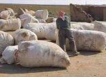 القطن المصري يسجل ارتفاعا قياسيا في الأسواق المحلية بنسبة 70%