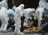 تحصين 50 ألف طائر بالفيوم ضد أنفلوانزا الطيور