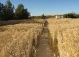 وكيل وزارة الزراعة بالفيوم: حصاد 78225 فدان قمح