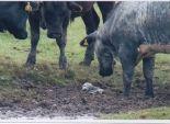 بالصور  قطيع من الأبقار ينقذ صغير حيوان الفقمة
